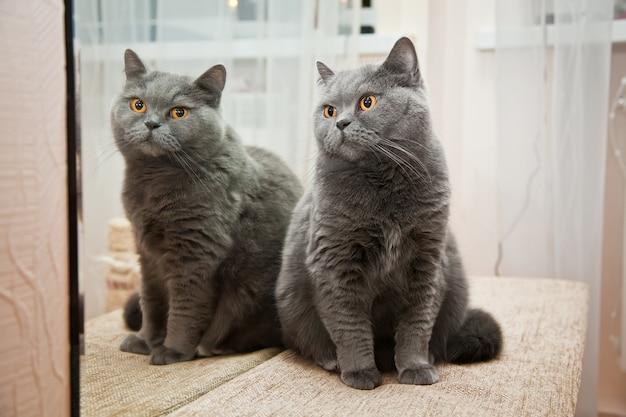 거울에 반사 된 귀여운 영국 쇼트 헤어 고양이