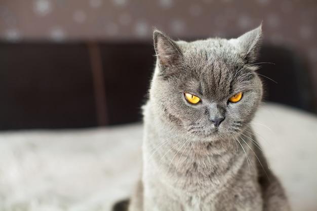 Cute british shorthair cat with orange eyes
