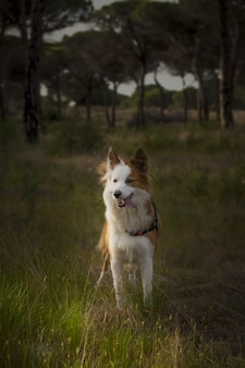 森の中のかわいい茶色と白のウェールズの牧羊犬
