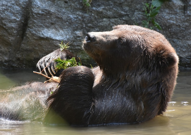 Cute brown bear cooling off while eating some leaves