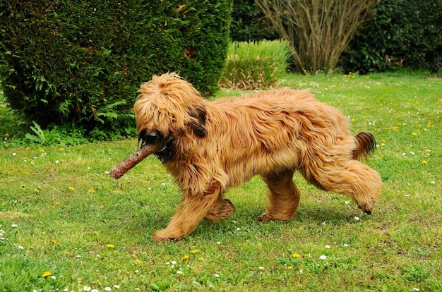 Cute brown briard dog playing in a park