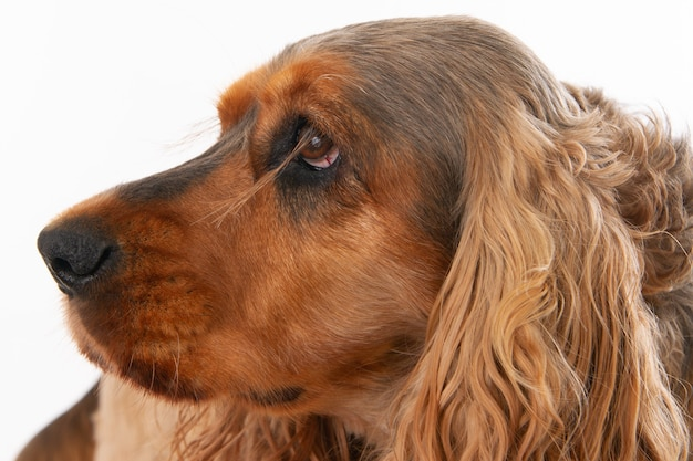 Cute brown cocker spaniel isolated on a white background