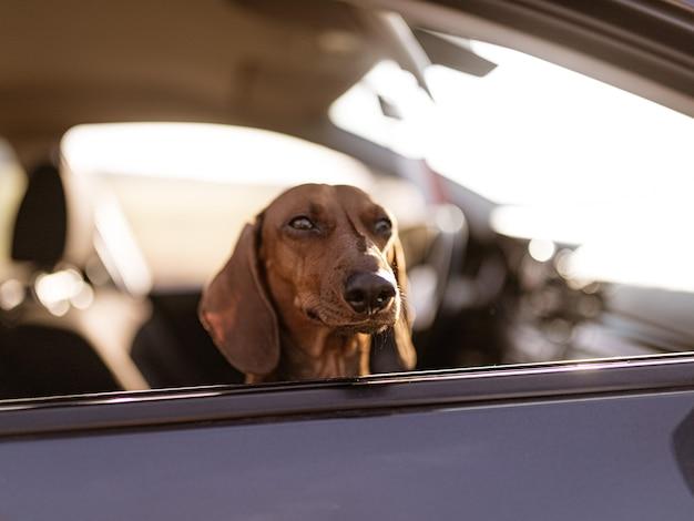 Cute brown dachshund dog during daytime
