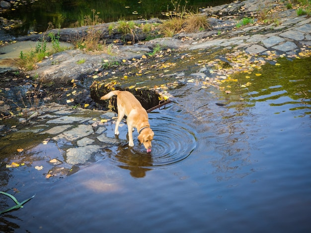 Милая коричневая собака пьет воду в озере в дневное время
