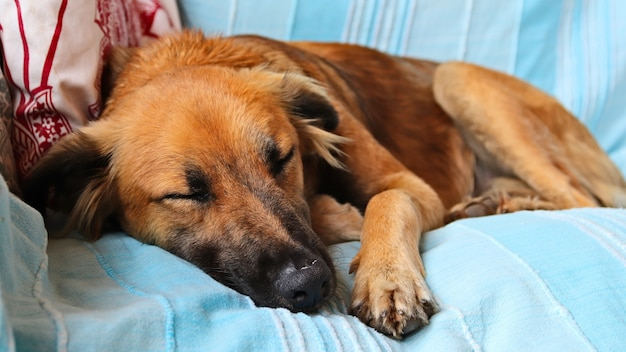 Cute brown dog sleeping peacefully on the blue covers of a sofa