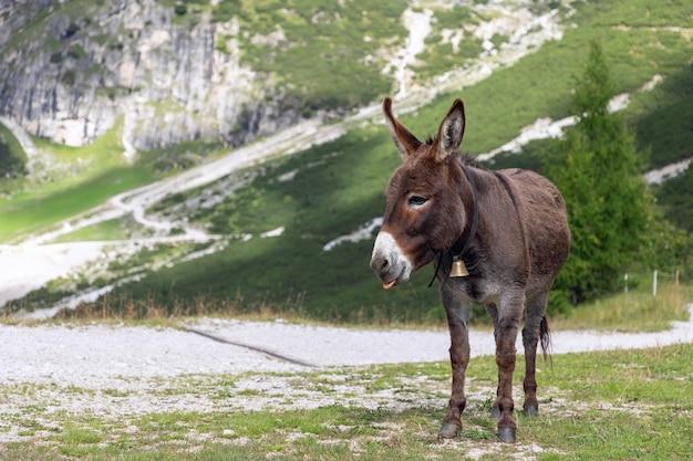 Cute brown donkey in the italian alps. italian dolomites. trentino alto adige