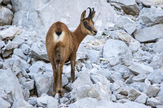 Capra selvatica marrone sveglia che cammina sulle rocce