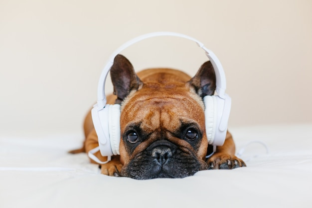 Cute brown french bulldog sitting on the bed at home and . funny dog listening to music on white headset. pets indoors and lifestyle. technology and music