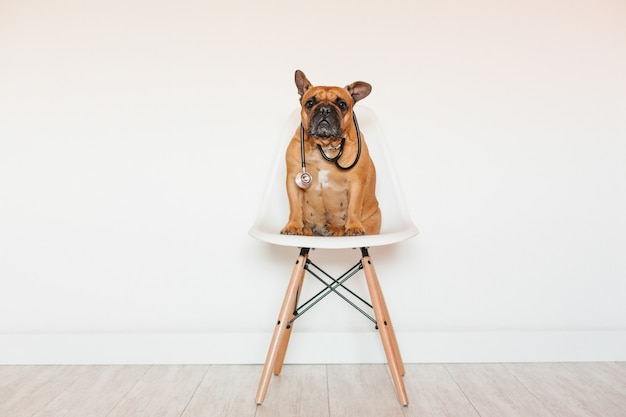 Cute brown french bulldog sitting on a chair at home. wearing a veterinarian stethoscope. pets care and veterinarian concept