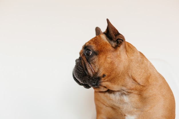 Cute brown french bulldog sitting on the floor at home and . funny and playful expression. pets indoors and lifestyle