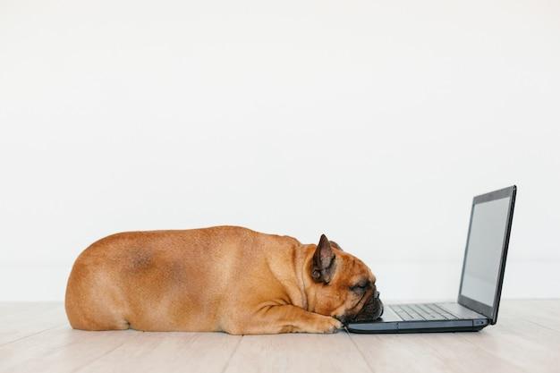 Милый коричневый французский бульдог работает на ноутбуке дома и чувство усталости. домашние животные в помещении, образ жизни и концепция технологии