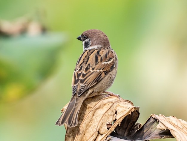 Cute brown house sparrow standing on a wooden stick observing its surroundings