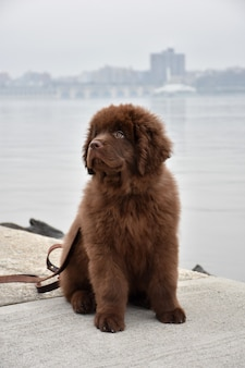 川のほとりに座っているかわいい茶色のニューファンドランドの子犬犬