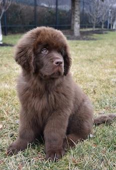 Cute brown newfoundland puppy dog sitting in grass