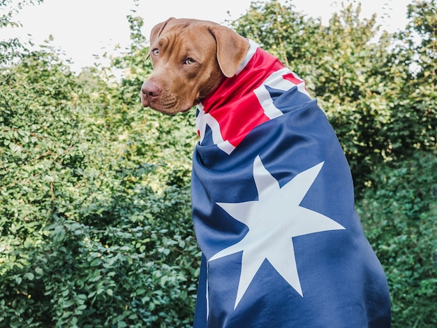 Cute brown puppy with australian flag