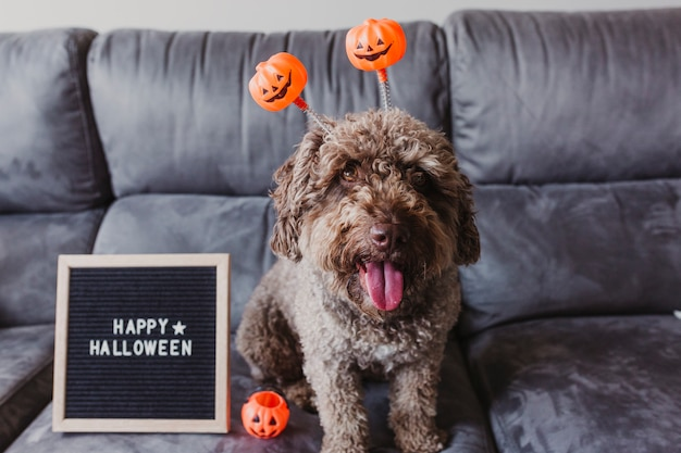 Cute brown spanish water dog sitting on the sofa at home, wearing funny orange halloween diadem. happy halloween sign letter board besides.