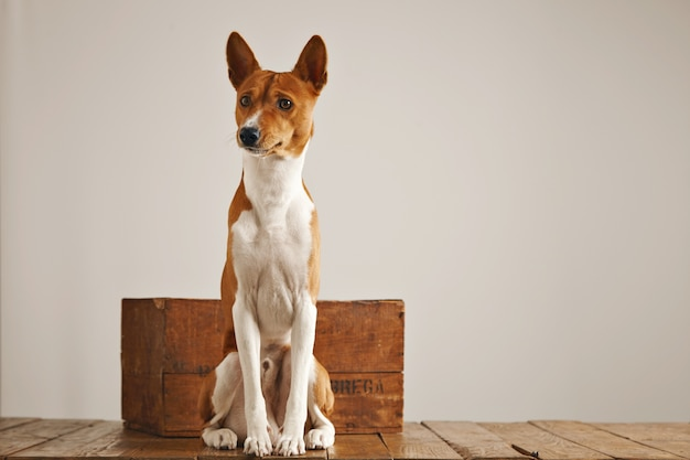 Cute brown and white basenji dog sitting up next to a small vintage wooden box in a studio with white walls