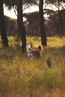 Cute brown and white welsh sheepdog in a forest