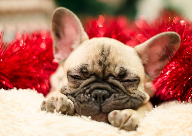 Cute bulldog puppy sleeping on a pillow on a background of red tinsel. new year. christmas