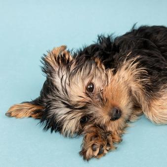 床にかわいいが眠そうなヨークシャーテリアの子犬
