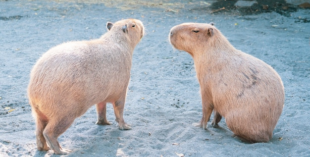 Милая капибара (самая большая мышь) ест и сонный отдых в зоопарке, тайнань, тайвань, снимок крупным планом