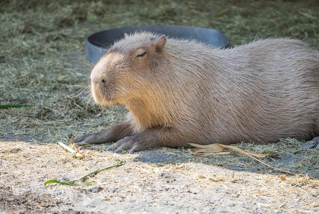 かわいいカピバラ(最大のマウス)が動物園、台南、台湾で食べて眠い休息、クローズアップショット