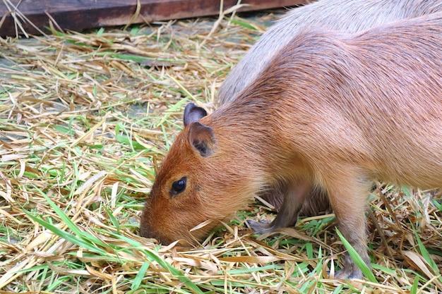 Милая капибара ест свежие и сухие травы на ферме. концепция животных