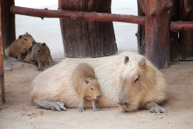 Милая капибара, лежащая на ферме с детским животным и концепцией дня матери