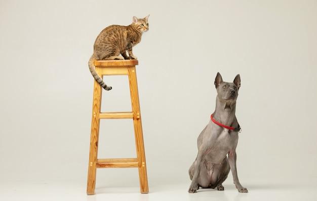 白い壁にかわいい猫と犬 ふわふわフレンズ タイリッジバックとセレンゲティの猫
