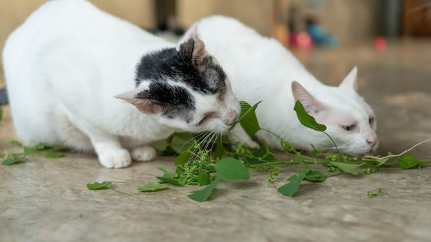 Cute cat eating indian acalypha plant in a room.
