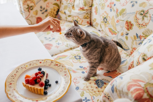 Cute cat eats something delicious from hosts hand, poses at sofa at home near plate