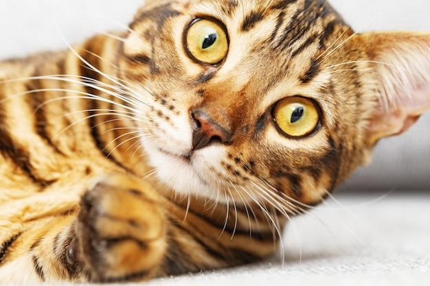 귀여운 고양이 얼굴 클로즈업, 벵골 고양이