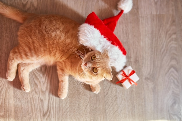 Милый кот в шляпе санта-клауса, британский короткошерстный кот, люсь на полу дома, праздничный рождественский декор. любимый питомец вид сверху.
