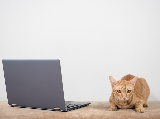 Cute cat lay on sofa with laptop looking at camera on white wall background in home