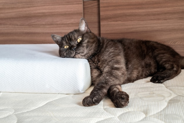 Cute cat lying on the bed with his head on orthopedic pillow