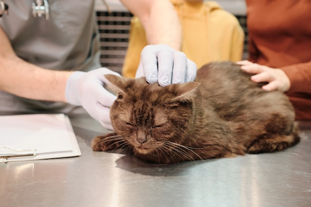 Милый кот сидит на столе, пока ветеринары осматривают его в клинике
