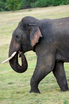 Cute ceylon elephant walking on grass and searching for food