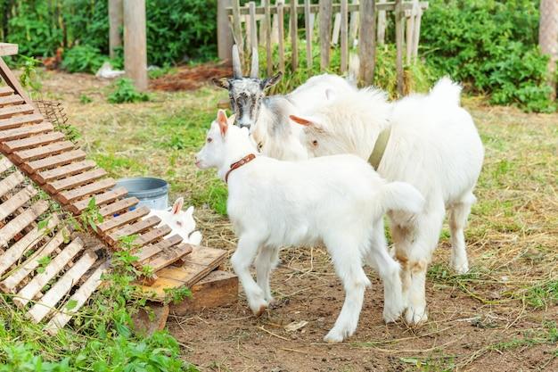 夏の日に牧場の農場でリラックスしたかわいいひよこヤギ。国内のヤギが牧草地で放牧し、噛んで、田舎の壁。牛乳とチーズを与えるために育つ自然のエコ農場のヤギ。