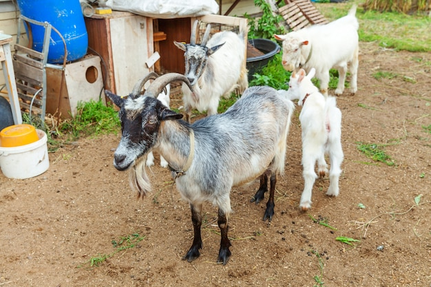 夏の日に牧場の農場でリラックスしたかわいいひよこヤギ。牧草地で放牧し、噛んで、田舎の国内ヤギ