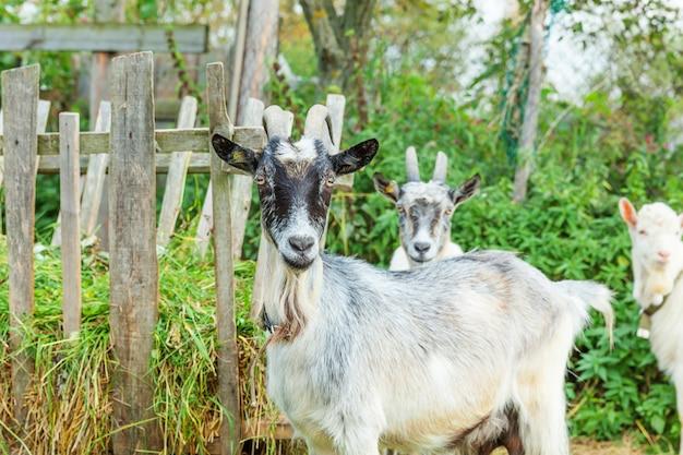 夏の日に牧場の農場でリラックスしたかわいいひよこヤギ。国内の山羊が牧草地で放牧し、噛んでいます。牛乳とチーズを与えるために成長している自然のエコ農場のヤギ。