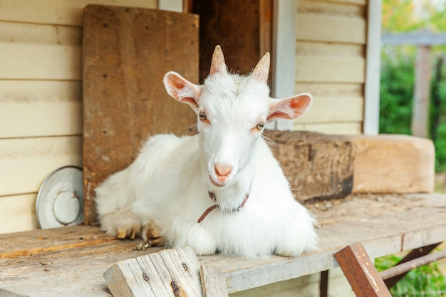 Cute chick goat relaxing in ranch farm in summer day. domestic goats grazing in pasture and chewing, countryside. goat in natural eco farm growing to give milk and cheese.