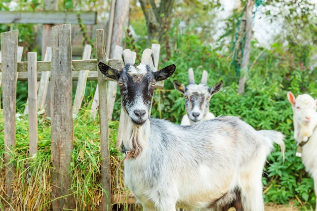 Cute chick goat relaxing in ranch farm in summer day. domestic goats grazing in pasture and chewing. goat in natural eco farm growing to give milk and cheese.