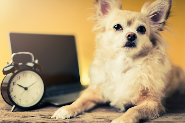 Cute chihuahua brown color dog with laptop on yellow background