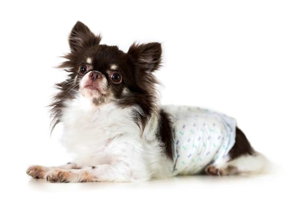 흰색 배경에 고립 된 귀여운 치와와 강아지
