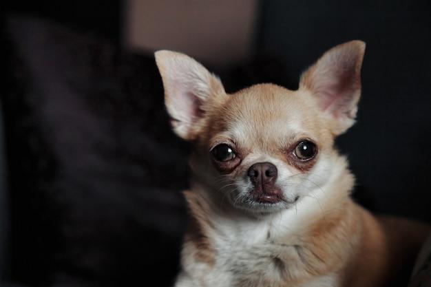 Милая собака чихуахуа на темном софе в уютной домашней гостиной. портрет собачки чихуахуа. концепция любви домашних животных и друга семьи