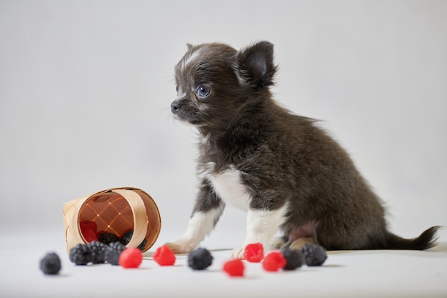 Cute chihuahua dog puppy. little funny dog. preparing for a dog show.