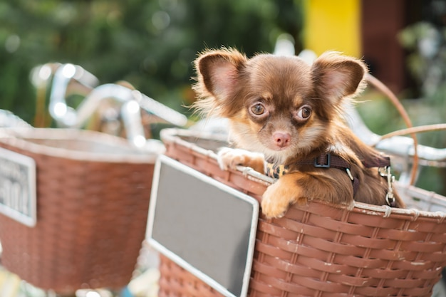 Cute and chihuahua dog sitting in bicycle basket.
