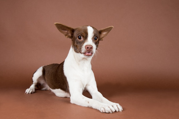Cute chihuahua puppy in a brown background
