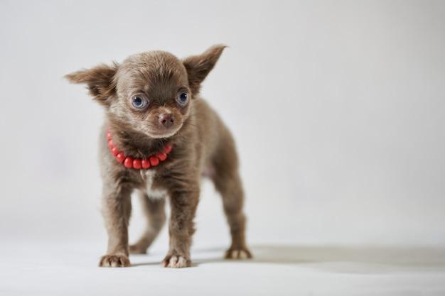 Милый щенок чихуахуа с красным ошейником