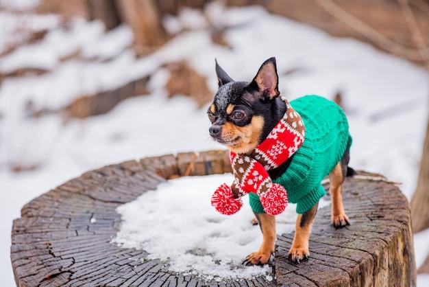 スカーフとかわいいチワワの子犬。冬の自然のスカーフでチワワ犬。ペット